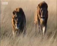 waptrick.com Lion Fight Pride - BBC Animal Drama