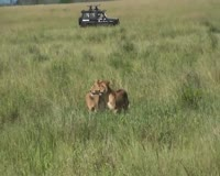 waptrick.com Lions - Safari Serengeti National Park Africa