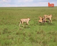 waptrick.com Lion Vs Buffallo 8 Animal Documentary