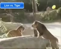 waptrick.com Lion vs Tiger 1 - Animal Fight
