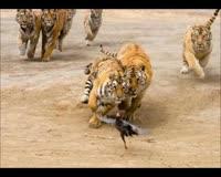 waptrick.one Lion vs Tiger 9 - Animal Fight