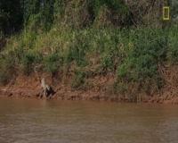 waptrick.one Jaguar Attacks Crocodile