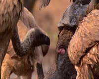 waptrick.one Vultures Have to Eat Animals Butt
