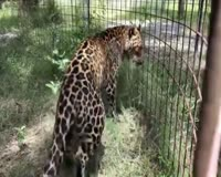 waptrick.com Rescue Leopard Eating Snacks at Big Cat Rescue