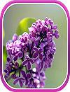 waptrick.one Lilac Live Wallpaper