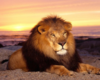 Big Cat At Sunset