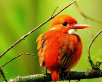 Kingfisher Madagascar Pygmy Red