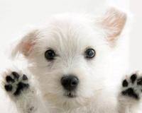 Beyaz köpek You Looking At Sevimli