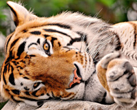 Big Cat Nap