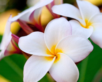 Goodlooking Pictures Of Hawaii Flowers