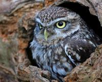 Hollow Tree Trunk Bird Owl