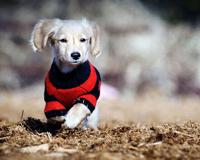 Cute Puppy Wearing Jursy