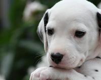 Puppy Dalmation