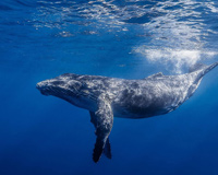 Whales In Sea