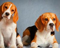 Cute Beagles Looking At You