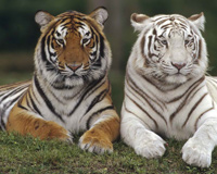 Colorful Big Cats
