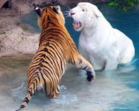 Tiger Stripes White Big Cat