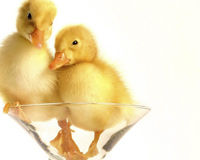 A Glass Of Duckling