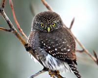 Angry Owl Bird