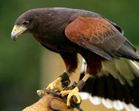 Falcon Bird Raptor