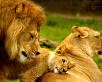 Royal Family Lions