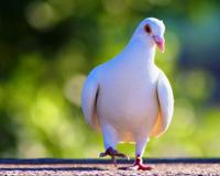 Cute White Pigeon