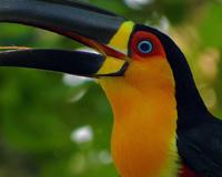 Toucan Beautiful Bird