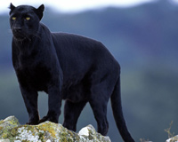 Panthers Big Cats Animals
