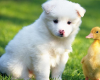 Baby Duck With White Puppy