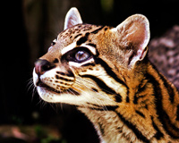 Beautiful Big Cat Ocelot