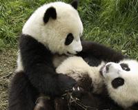 Panda Siblings Play Each Other