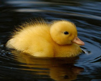 Lovely Cute Yellow Duckling