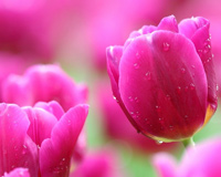 Tulips Pink Blossoms Petal Flower