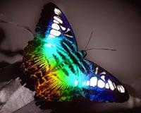 butterfly in black