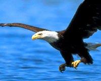shqiponjë 1