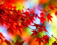 red leaves in red branch