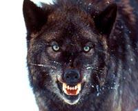 barbarian black wolf
