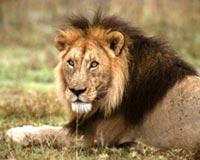 African lions nervous glance