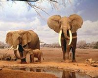 Elephants in desert