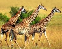 Giraffe Tio