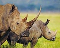 Rhinoceroses 01