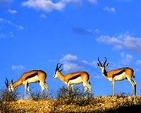 Springboks Kgalagadi Transfrontier Park