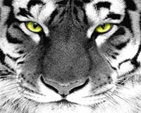 tiger eye 01
