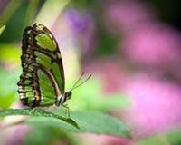 green butterfly 01