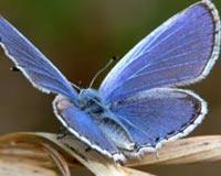 Blue Butterfly 01