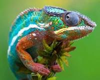 Chameleon 01