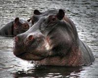 Hippopotamus 01