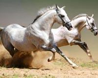 Amazing White Horses