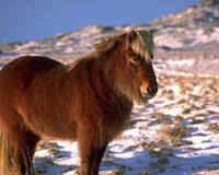 Icelandic Horse In Winter