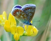 Feathery Butterfly